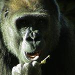 Мавпи і шимпанзе