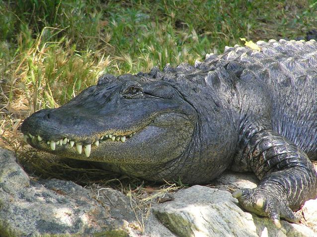 Нільські крокодили: факти про істот, які пережили динозаврів