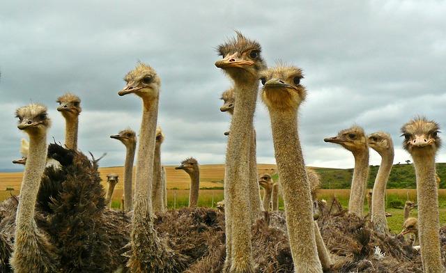 Чому страуси не літають