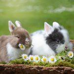 Кролики: походження, особливості та розведення пухнастих звірят