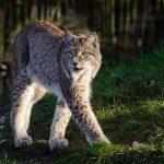 Рись: велика кішка з відмінним слухом