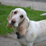 Басет-гаунд: собака для дому і прогулянок
